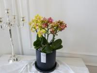 [부산당일꽃배달]어버이날꽃배달 호접란 오렌지&옐로우 콤…
